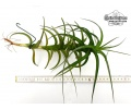 Tillandsia species aff. bergeri (ca.20cm) (Currlin Orchideen)