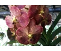 Vanda Adisak Happiness (Currlin Orchideen)