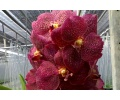 Vanda Kultana Gold x Robert's Delight #11 (Currlin Orchideen)
