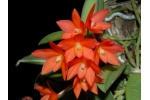 cattleya_cernua_currlin_orchideen