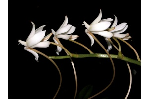 Aerangis ellisii (Currlin Orchideen)