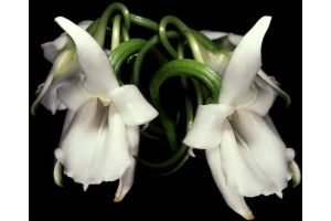Angraecum magdalenae 1 (Currlin Orchideen)