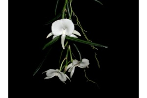 Angraecum scottianum (Currlin Orchideen)