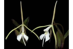 Epidendrum nocturnum var. minor (Currlin Orchideen)