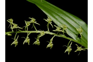 Liparis viridiflora (Currlin Orchideen)