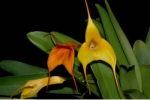 Masdevallia Hybride (gelb - orange) (Currlin Orchideen)
