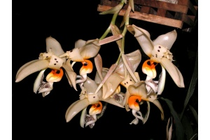 Stanhopea embreei 1 (Currlin Orchideen)
