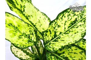 Aglaonema Hybride (breitblättrig) (Leaves) von Currlin Orchideen