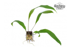 anthurium gracile currlin orchideen