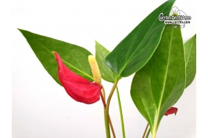 anthurium hybride mini rot currlin orchideen