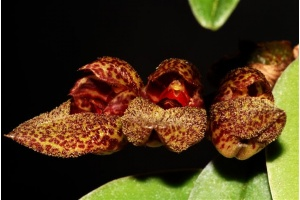 bulbophyllum_frostii_currlin_orchideen
