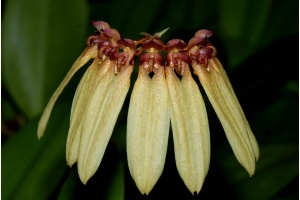 Bulbophyllum longiflorum (Currlin Orchideen)