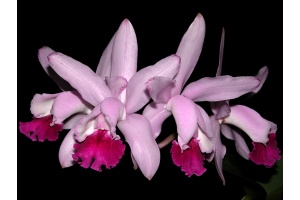 Cattleya intermedia (Currlin Orchideen)
