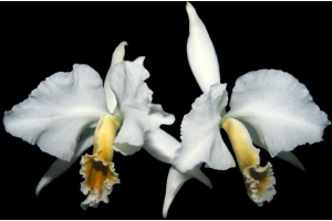 cattleya_percivaliana_var__alba_currlin_orchideen