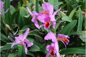 Cattleya percivaliana 'Winter' 1 (Currlin Orchideen)