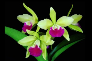 cattleychea_merry_green_currlin_orchideen