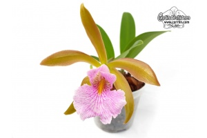 Cattleychea Pink Carambola (Currlin Orchideen)
