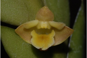dendrobium_anceps_currlin_orchideen