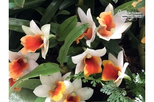 Dendrobium Jiaho Candy (Currlin Orchideen)