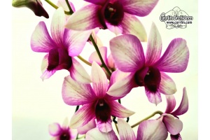 Dendrobium Polar Fire - Currlin Orchideen