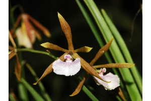 encyclia_bractescens