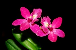 epidendrum_leco_pink_currlin_orchideen