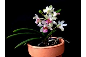 holcostylis_m_s_sunlight_currlin_orchideen