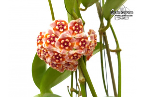 Hoya meliflua (Flowers) von Currlin Orchideen