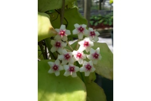 Hoya oblongata (Currlin Orchideen)