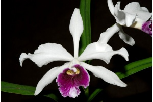 laelia purpurata currlin orchideen 2