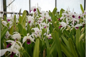 laelia purpurata flowering currlin orchideen