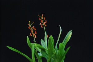 liparis_crenulata_habitus_currlin_orchideen