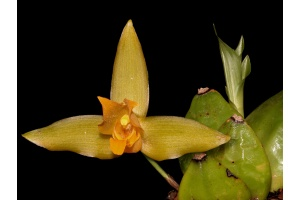 lycaste_cochleata_currlin_orchideen