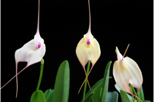 Masdevallia Measuresiana (Currlin Orchideen)