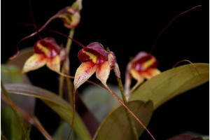 Masdevallia nidifica (rot/red) (Currlin Orchideen)