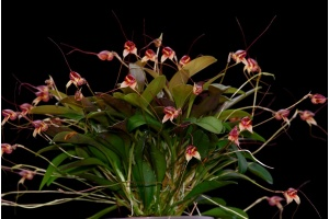 Masdevallia nidifica (rot/red) 1 (Currlin Orchideen)