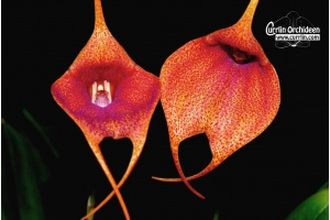 Masdevallia Orange Spots '12052020' (Currlin Orchideen)