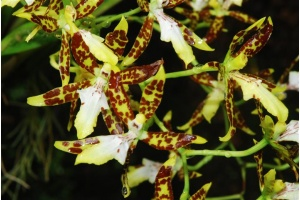 Oncidium maculatum (Currlin Orchideen)