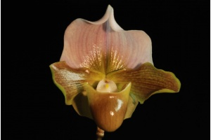 paph_willowspring_full_moon_x_charlesworthii_album_perfect_circle_currlin_orchideen
