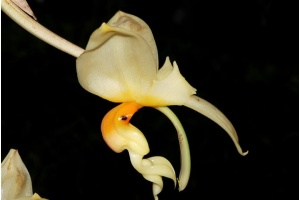 stanhopea_embreei_currlin_orchideen