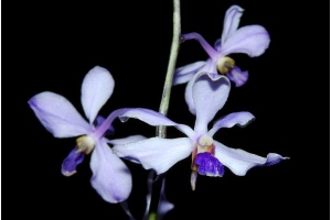 Vanda coerulescens (Currlin Orchideen)