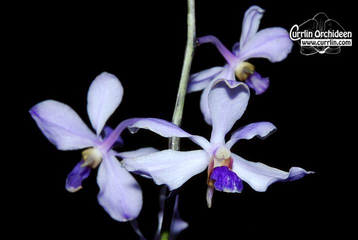 vanda coerulescens currlin orchideen. Black Bedroom Furniture Sets. Home Design Ideas