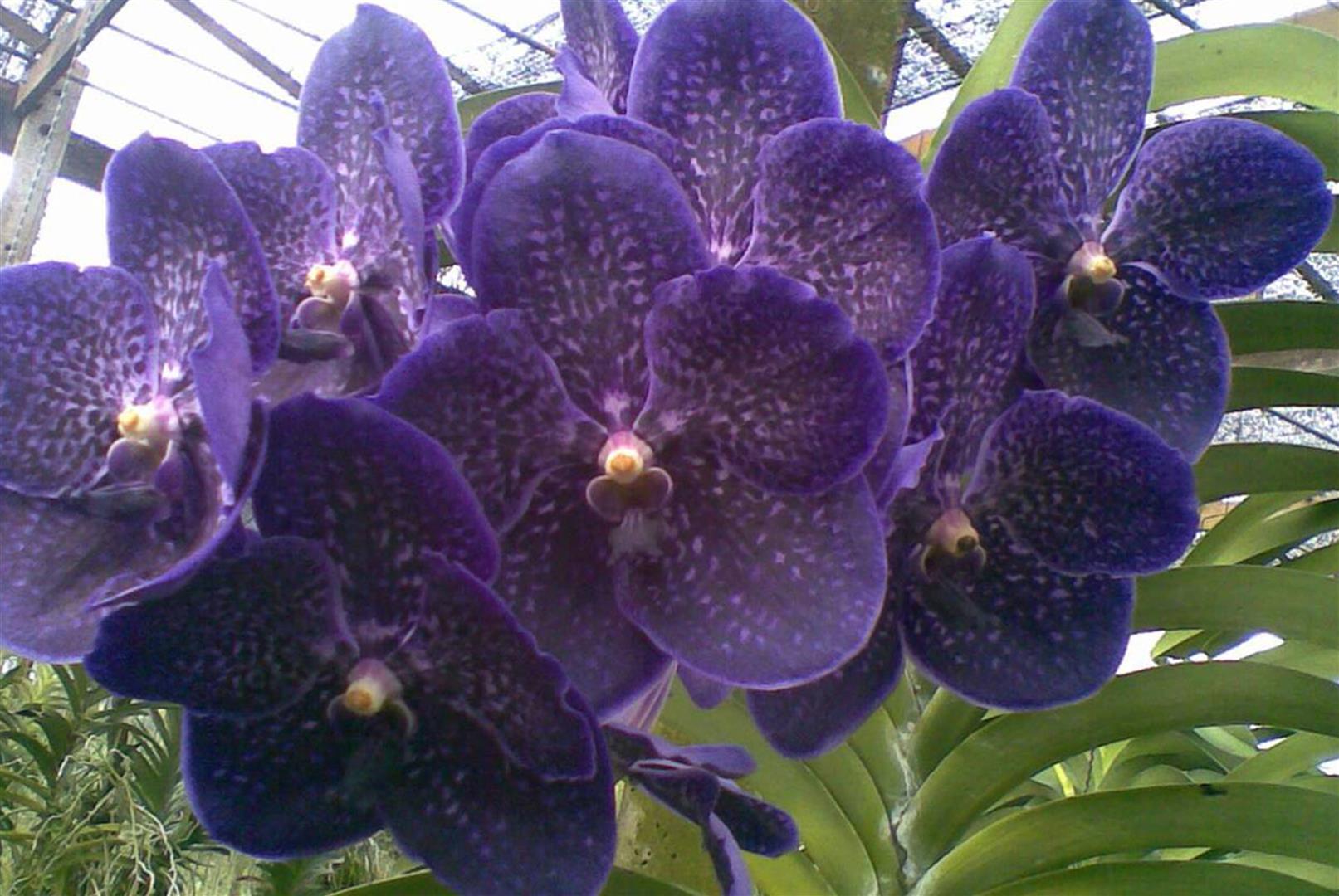 vanda gordon dillon x suksamran gold currlin orchideen. Black Bedroom Furniture Sets. Home Design Ideas