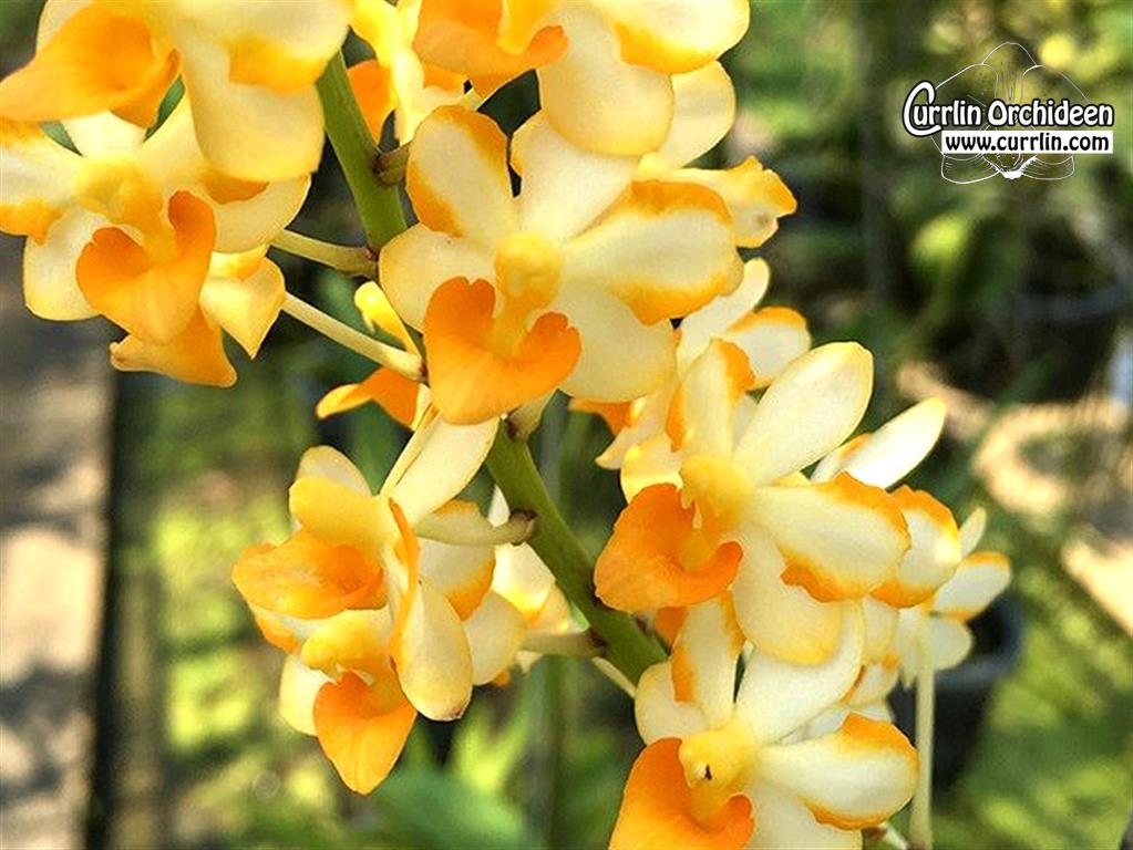 Vandaenopsis pulcherrimin currlin orchideen vandaenopsis pulcherrimin currlin orchideen altavistaventures Images